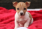 Jack Russell Terrier Puppy For Sale in MOUNT JOY, PA,