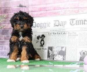 Aussie-Poo Puppy for Sale in BEL AIR, Maryland USA