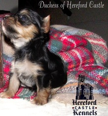 Yorkshire Terrier Puppy For Sale in EVANS, GA