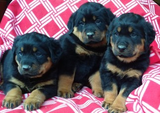 View Ad: Rottweiler Litter of Puppies for Sale near Maryland