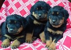 Rottweiler Puppy For Sale in CONOWINGO, MD, USA