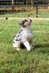Australian Shepherd Puppy For Sale in ALBANY, Georgia,