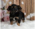 Puppy 1 Chorkie
