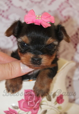 Yorkshire Terrier Dog for Adoption in Winnipeg, Manitoba Canada