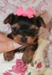 Yorkshire Terrier Puppy For Sale in Winnipeg, Manitoba, Canada