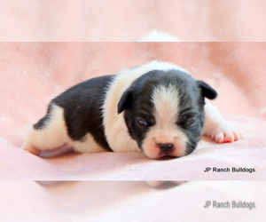 French Bulldog Puppy for Sale in WINNSBORO, Texas USA