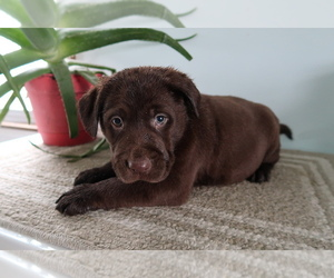 Labrador Retriever Puppy for sale in SOUTH BEND, IN, USA