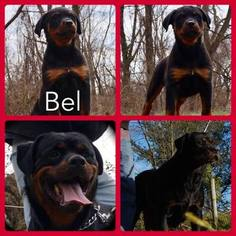Rottweiler Puppy For Sale in WARSAW, IN, USA