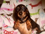 Dachshund Puppy For Sale in LATONIA, Kentucky,
