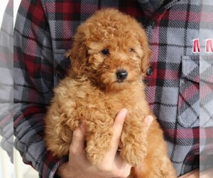 Goldendoodle-Poodle (Standard) Mix Puppy for sale in LEOLA, PA, USA