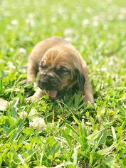 Bloodhound Puppy For Sale in GLEN SAINT MARY, FL, USA
