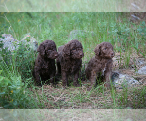 Poodle (Standard) Puppy for sale in COLUMBUS, NE, USA