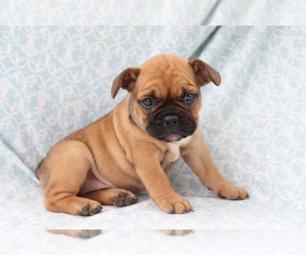 View Ad: French Bulldog Puppy for Sale near Finland