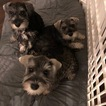 Schnauzer (Miniature) Puppy For Sale in CHARLOTTE, NC, USA
