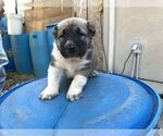 Small #17 Central Asian Shepherd Dog