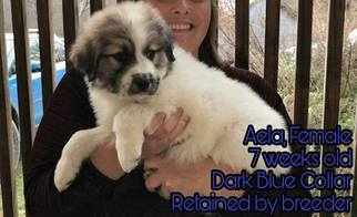 Great Pyrenees Puppy For Sale near 65452, Crocker, MO, USA