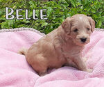 Puppy 3 Goldendoodle-Poodle (Standard) Mix