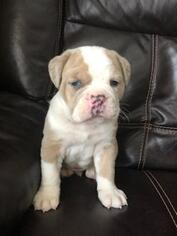 Olde English Bulldogge Puppy for sale in FINLAYSON, MN, USA