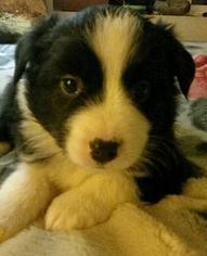 Australian Cattle Dog Puppy for sale in EATONVILLE, WA, USA