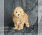 Puppy 1 Maltese-Poodle (Toy) Mix