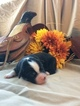 Miniature Australian Shepherd Puppy For Sale in TRENTON, GA,