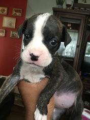 Boxer Puppy For Sale in ENGLEWOOD, NJ, USA