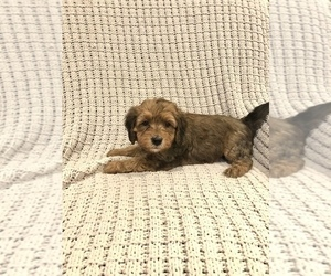 Bernedoodle-Miniature Bernedoodle Mix Puppy for sale in CHESILHURST, NJ, USA