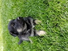 German Shepherd Dog Puppy For Sale in BORGER, TX, USA