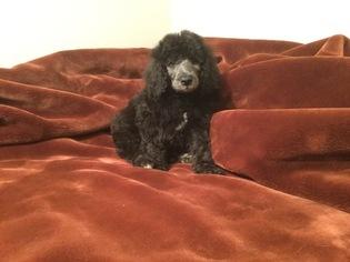Poodle (Standard) Puppy For Sale in FREDERICKSBURG, VA
