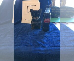 Yorkshire Terrier Puppy for Sale in SAINT CLOUD, Minnesota USA