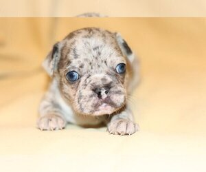 French Bulldog Puppy for sale in PALM BEACH, FL, USA