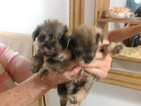 Schnauzer (Miniature) Puppy For Sale in VALLEY PARK, MO