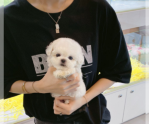Bichon Frise Dog for Adoption in DIX HILLS, New York USA