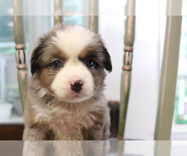 Medium Photo #14 Australian Shepherd Puppy For Sale in STAFFORD, VA, USA
