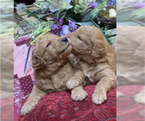 Goldendoodle Puppy for Sale in HAYDEN, Idaho USA