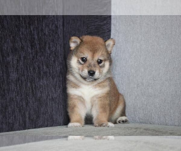 Medium Photo #3 Shiba Inu Puppy For Sale in MIAMI, FL, USA