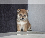 Small Photo #3 Shiba Inu Puppy For Sale in MIAMI, FL, USA
