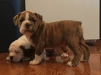 Olde English Bulldogge Puppy For Sale in DUNDEE, OH, USA