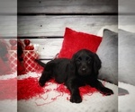 Small #2 Labradoodle