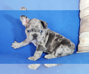 French Bulldog Puppy for sale in ADRIAN, MI, USA