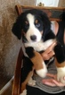 Bernese Mountain Dog Puppy For Sale in LOVELAND, OH