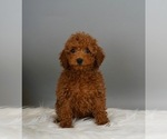 Puppy 3 Poodle (Miniature)
