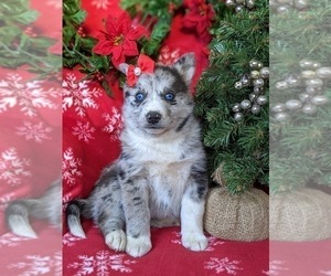 Pomsky Puppy for sale in EPHRATA, PA, USA