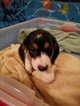 Dachshund Puppy For Sale in SYRACUSE, NY,