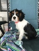 Cavalier King Charles Spaniel Puppy For Sale in LAKELAND, FL, USA