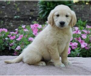 Golden Retriever Dog for Adoption in FREDERICKSBG, Ohio USA