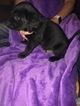 Labrador Retriever Puppy For Sale in LAFAYETTE, IN, USA