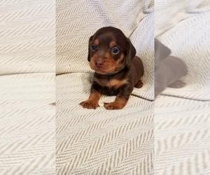 Dachshund Dog for Adoption in WARSAW, Virginia USA