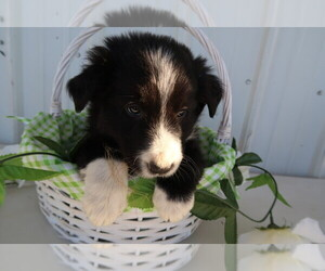 Border Collie Puppy for sale in TRAVERSE CITY, MI, USA