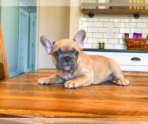French Bulldog Puppy for Sale in AMITY, North Carolina USA